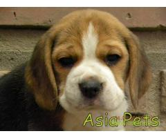 Beagle puppy  for sale in Jodhpur Best Price