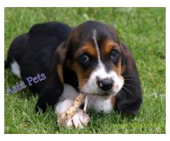 Basset hound puppy for sale in Ahmedabad low price