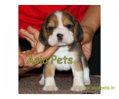 Beagle puppy  for sale in Mumbai Best Price