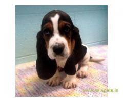 Basset hound puppy for sale in Delhi at best price
