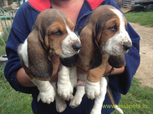 Basset hound puppy for sale in Faridabad at best price