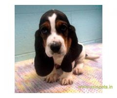 Basset hound puppy for sale in Gurgaon at best price