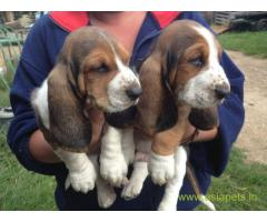 Basset hound puppy for sale in Guwahati at best price