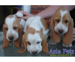 Basset hound puppy for sale in Chennai at best price