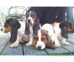 Basset hound puppy for sale in Lucknow at best price