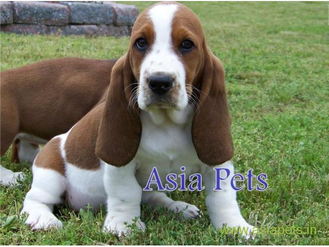 Basset hound puppy for sale in Madurai at best price