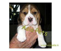 Beagle puppy  for sale in pune Best Price