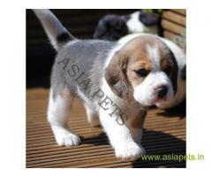 Beagle puppy  for sale in secunderabad Best Price