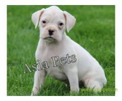 Boxer puppy for sale in Bangalore at best price