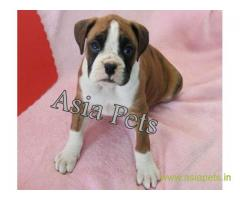 Boxer puppy for sale in Chandigarh at best price