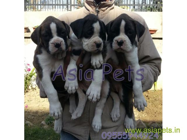 Boxer puppy for sale in Bhubaneswar at best price