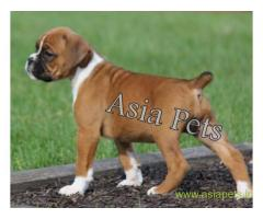 Boxer puppy for sale in Ghaziabad at best price