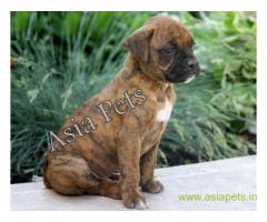 Boxer puppy for sale in Dehradun at best price