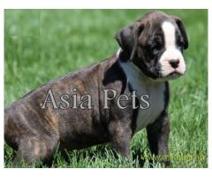 Boxer puppy for sale in Delhi at best price