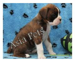 Boxer puppy for sale in Gurgaon at best price
