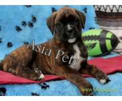 Boxer puppy for sale in Ranchi low price
