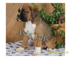 Boxer puppy for sale in Kolkata at best price
