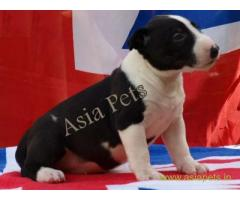 Bull Terrier puppy  for sale in Gurgaon Best Price