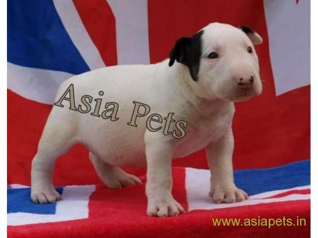 Bull Terrier puppy  for sale in Bangalore Best Price