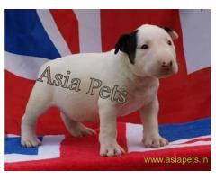 Bull Terrier puppy  for sale in Bhopal Best Price