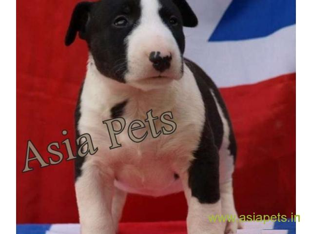 Bull Terrier puppy  for sale in Kolkata Best Price