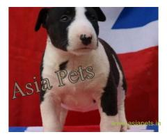 Bull Terrier puppy  for sale in rajkot best price
