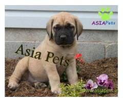 English mastiff puppy for sale in Ahmedabad low price