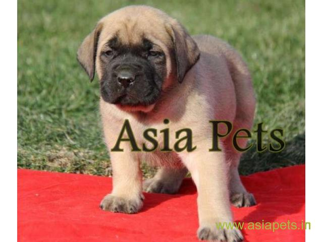 English mastiff puppy for sale in Faridabad at best price