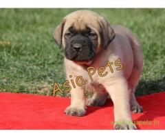 English mastiff puppy for sale in Gurgaon at best price