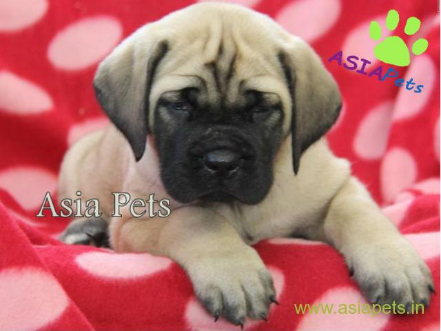 English mastiff puppy for sale in vijayawada low price