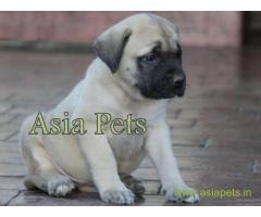 Bullmastiff puppy  for sale in Bhubaneswar Best Price