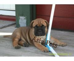 Bullmastiff puppy  for sale in Dehradun Best Price