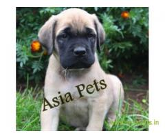 Bullmastiff puppy  for sale in Gurgaon Best Price