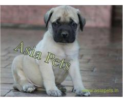 Bullmastiff puppy  for sale in Mysore Best Price