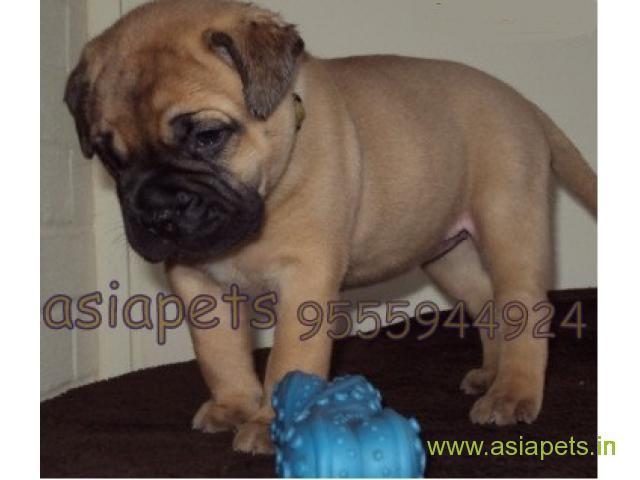 Bullmastiff puppy  for sale in vijayawada Best Price