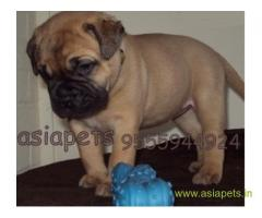Bullmastiff puppy  for sale in vijayawada Best Price