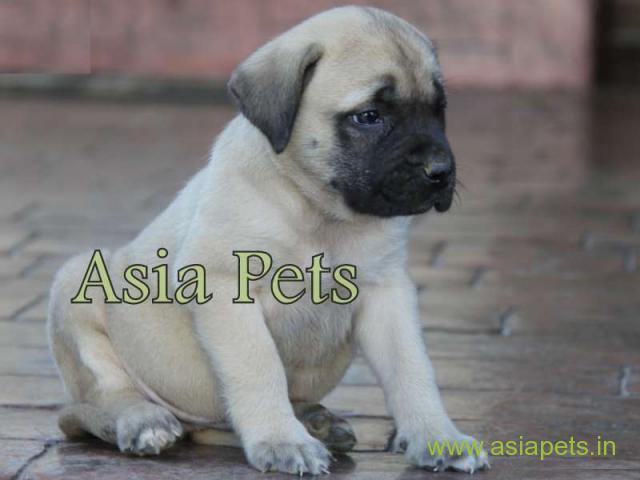Bullmastiff puppy  for sale in  vizag Best Price