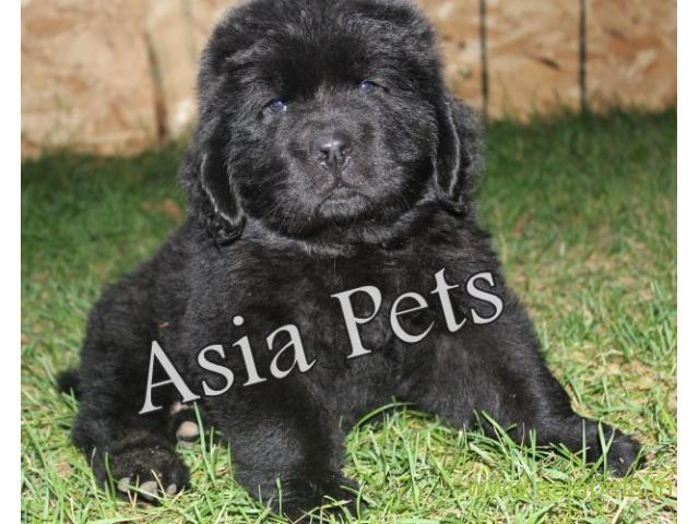 Newfoundland puppy  for sale in Ahmedabad Best Price