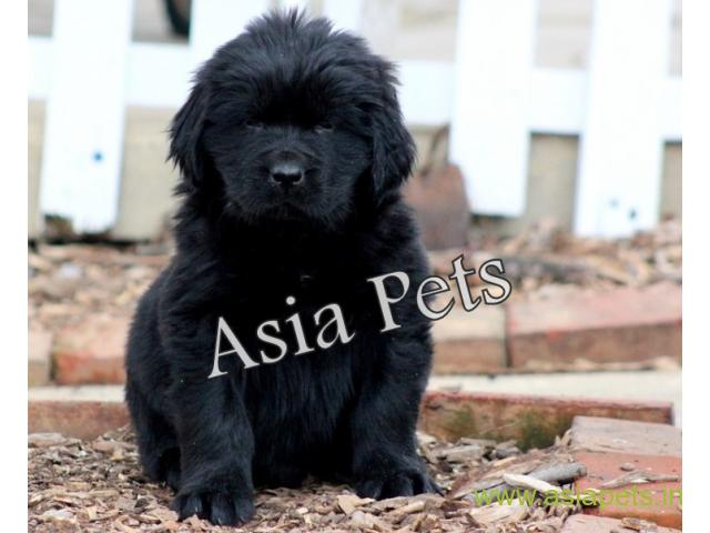 Newfoundland puppy  for sale in Bhopal Best Price