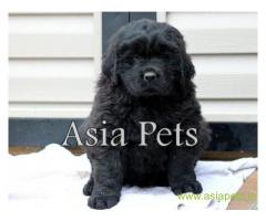 Newfoundland puppy  for sale in Chandigarh Best Price