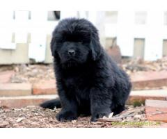 Newfoundland puppy  for sale in Dehradun Best Price