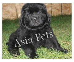 Newfoundland puppy  for sale in Delhi Best Price