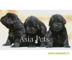 Newfoundland puppy  for sale in Nashik Best Price