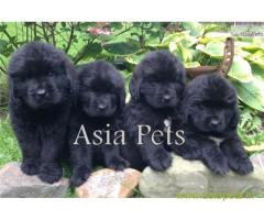 Newfoundland puppy  for sale in rajkot best price