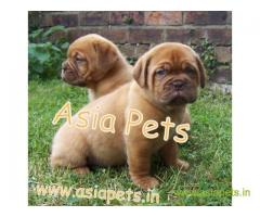 French Mastiff puppy  for sale in Agra Best Price