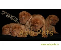 French Mastiff puppy  for sale in Bhopal Best Price