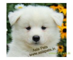 Samoyed puppy for sale in Chandigarh at best price