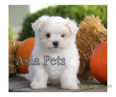 Maltese puppy for sale in Delhi at best price
