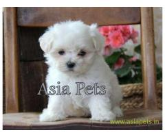 Maltese puppy for sale in Chennai at best price