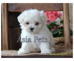 Maltese puppy for sale in Kolkata at best price